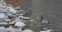 Mountain river ducks life 4k spain Stock Footage