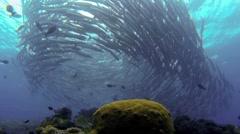 School of barracuda swimming underwater Stock Footage