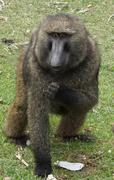 Baboon in the nature, Ethiopia, Africa Stock Photos