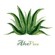 Watercolor background aloe leaves on white Stock Illustration