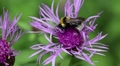 Bumble bee on purple flower HD Footage