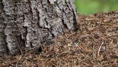 Ants in big anthill in forest Stock Footage