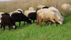 Flock of sheep on the pasture ground Stock Footage