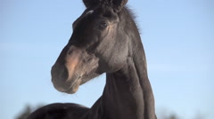 Brown thoroughbred racehorse closeup Stock Footage