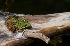 Green frog sitting in the sun on a tree Stock Photos