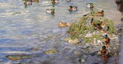 Mountain river ducks 4k campradon spain Stock Footage