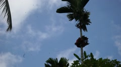 Asian villager man climbing tall tree to collect pinang or nut fruit Stock Footage