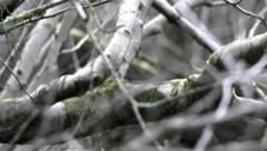Nature abstract dead tangled wild branches - black and white rack focus Stock Footage