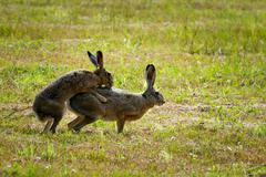European Hares in Love Stock Photos