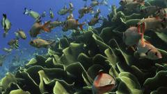 UltraHD squirrel fish in giant colony of cabbage corals, under water, Palau - stock footage