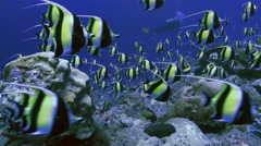 UHD huge school of tropical fish at coral reef, underwater shot, Palau - stock footage