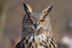 Eagle Owl An eagle owl portrait Stock Photos