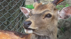 Close Up Male Deer Cleans Itself Nara Japan Stock Footage