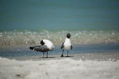 Laughing Gulls on a Florida Beach Stock Photos