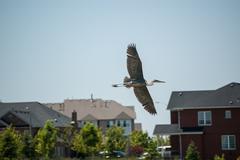 Great Blue Heron in the Suburbs Stock Photos