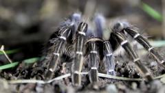 Tarantula Rack Focus at Night - stock footage