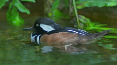 Hooded Merganser Duck dozes off while swimming, 4K Stock Footage