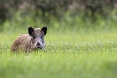 Wild boar in the clearing Kuvituskuvat