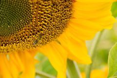 Honey Bee Pollinating Farm Sunflower Plant - stock photo