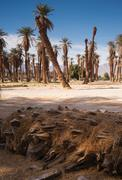 An Oasis of Tropical Trees Furnace Creek Death Valley Stock Photos