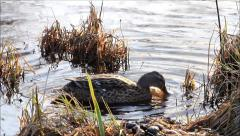 Mallard duck in the reeds,  searching for fodder Stock Footage