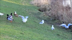 Ducks and seagull in the nature, mallard Stock Footage