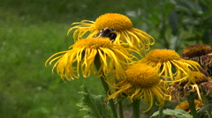 Beautiful Elecampane (Inula helenium) flowers  and bumblebee Stock Footage