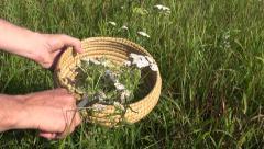 herbalist harvesting pick medical flower Achilea common yarrow - stock footage