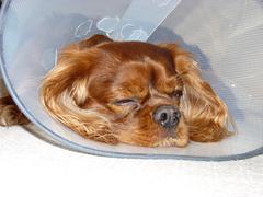 dog with health aid - stock photo