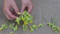 herbalist put  cowslip medical flowers on linen cloth for drying - stock footage