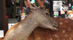 Male Deer Cleans Itself In Village Street Nara Japan Stock Footage