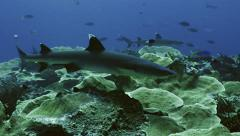 UltraHD shark approaches on reef top, underwater shot, Palau Stock Footage