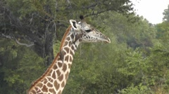 Giraffe with oxpeckers on its neck trying to shake them off Stock Footage