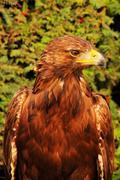 Eagle (Aquila chrysaetos) - stock photo