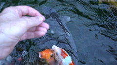 4k clip of large koi gathering to be fed by a hand that teases then gives food Stock Footage