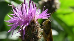 GRASSHOPPER, insect, cardus,  flower, jump Stock Footage