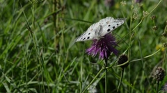 Apollo, Mountain Apollo, Parnassius apollo, butterfly, Stock Footage