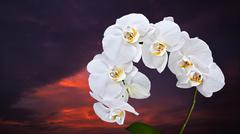 White Phalaenopsis orchid against the evening sunset sky Stock Photos