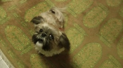 A cute funny colorful female shih tzu barks playfully. Stock Footage