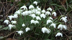 Clump of Snowdrops 07 - stock footage