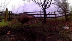 Female Pheasants 04 Stock Footage