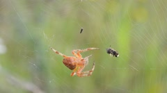 The spider is trying to kill trapped insect Stock Footage