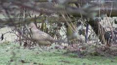 Female Pheasants 07 Stock Footage