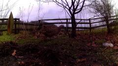 Female Pheasants 05 Stock Footage