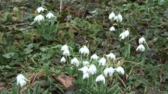 Clump of Snowdrops 06 - stock footage