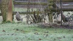 Female Pheasants 08 Stock Footage