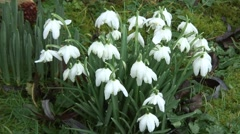 Clump of Snowdrops 08 Stock Footage