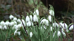 Clump of Snowdrops 04 Stock Footage