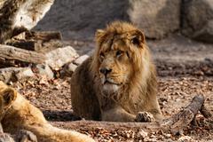 Lion king Kuvituskuvat