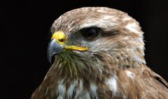 Detailed view of a falcon bird Stock Photos